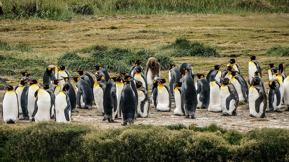 patagonien-reisebericht-vegan-travel-guide-pinguine